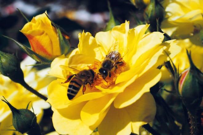 Die ungefüllten Blüten der Bienenweide-Rosen bieten Insekten einen gut erreichbaren und reichen Vorrat an Pollen und Nektar. Foto: djd/www.rosen-tantau.com