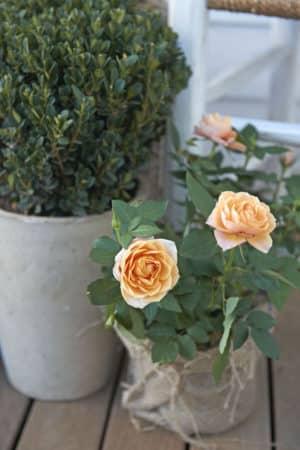Rosen vertragen keine Staunässe, wünschen sich aber einen steten Wassernachschub. Foto: djd/bayergarten.de