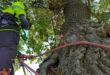 Zertifizierte Baumpfleger verfügen über die passende Ausrüstung für professionelle Schnittmaßnahmen. Foto: djd/RAL Gütegemeinschaft Baumpflege e.V.