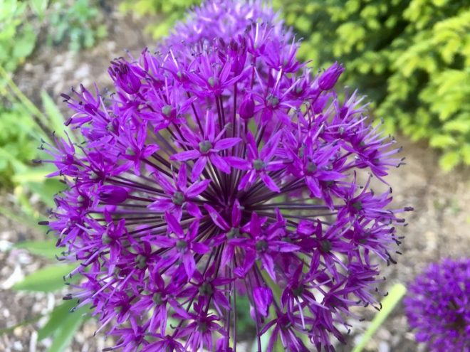 Blumenzwiebeln wie der Zierlauch ziehen Insekten an