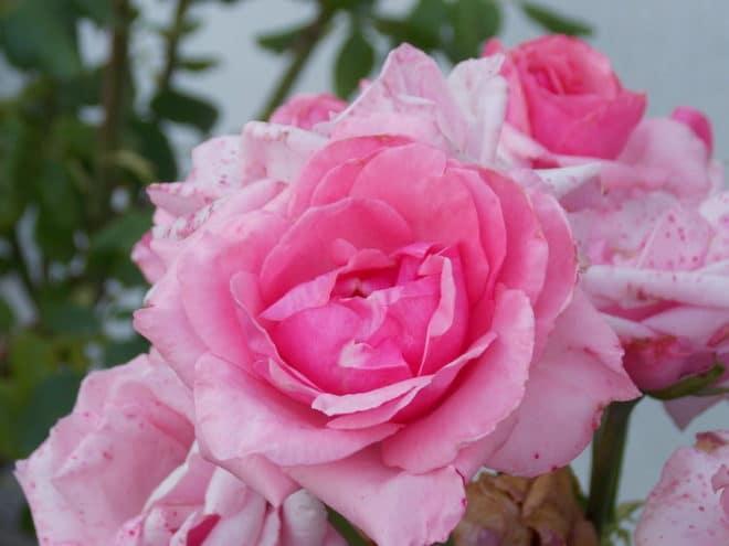 Mit ein paar Tipps für die richtige Pflege von Rosen können Sie sich ganz leicht ein eigenes Rosenparadies zulegen.