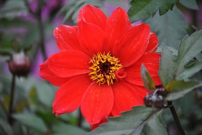 Dahlien sind beliebte Sommerblumen die bis in den Herbst hinein blühen.