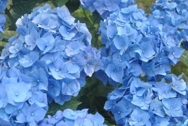 Die Bodenbeschaffenheit bzw. der Nährstoffgehalt ist ausschlaggebend für die Blühfarbe der Hortensien.