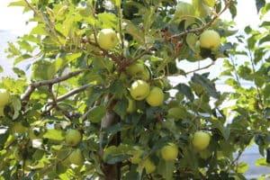 Ein Apfelbaum passt nahezu in jeden Garten.