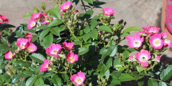 Die Rosy Boom Mini beeindruckt mit ihrer Blütenpracht.