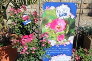 Die Zwergrose Rosy Boom Mini passt in jedes Beet.