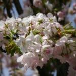 Winterblühende Gehölze wie die Schneekirsche bringen farbige Akzente an tristen Wintertagen in Ihren Garten